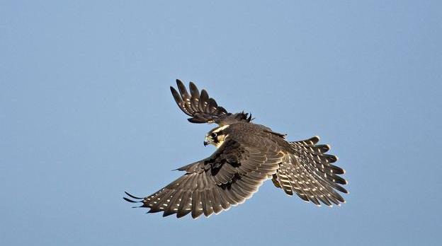 1492787897_aplomado-falcon-in-flight.jpg