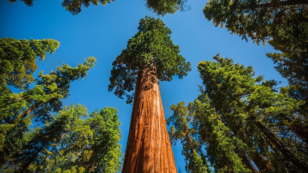 самое высокое дерево в мире фото она делится