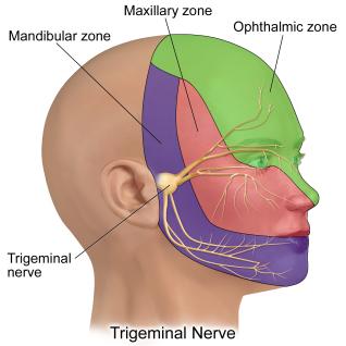 1586444052_trigeminal-nerve.png